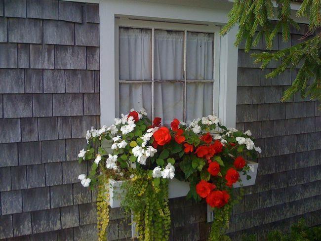 Композиція з бегонії перед вікном заміського будинку