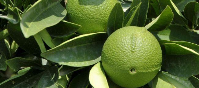 Чай з бергамотом: користь і шкода