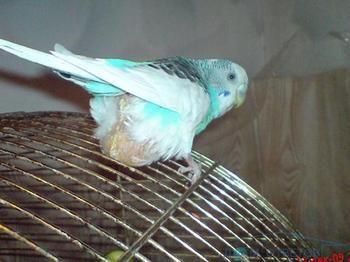 Що робити якщо у хвилястого папугу застрягло яйце