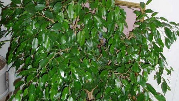 Фікус бенджаміна скидає листя