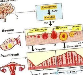 Функції прогестерону в жіночому організмі і його нормальні показники