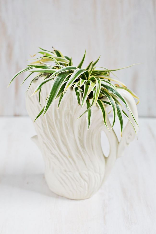 Хлорофітум - яскрава рослина, що створює затишок (31 фото)