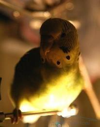 Ця загадкова папуговим душа