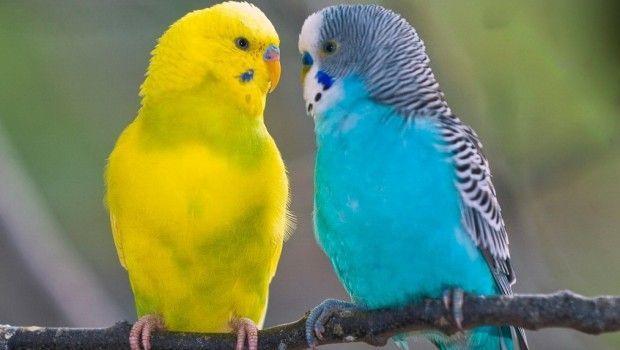 Як визначити стать хвилястого папуги