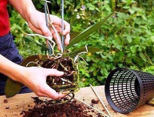 Як пересадити орхідею.
