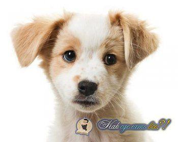 Як зробити внутрішньом`язовий укол собаці?
