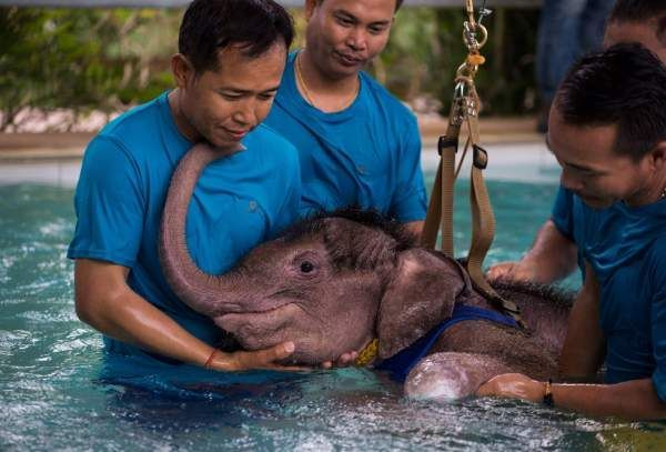 Як слона вчать у воді заново ходити