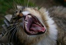 Кішки заражають господарів на шизофренію?