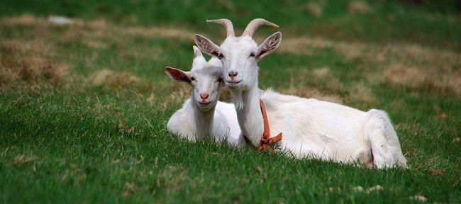 Козяче м`ясо: користь і шкода