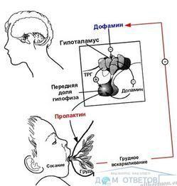 Лактотропного гормон - пролактин