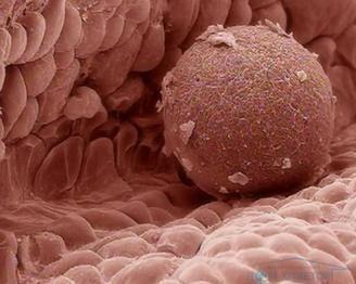 Чи може годує жінка бути донором яйцеклітин?