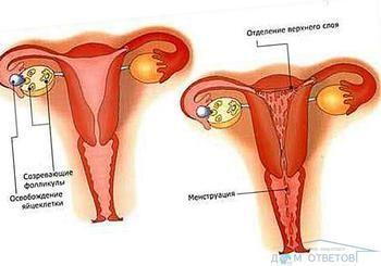 Чи можна завагітніти на наступний день після овуляції?