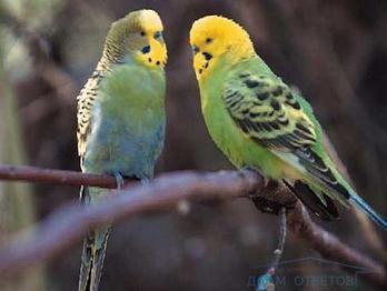Чи не відривається яйце у самки хвилястого папугу. Що робити?
