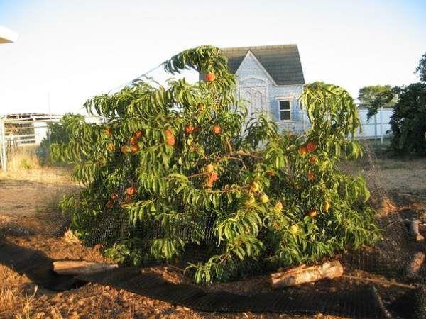П`ять порад любителям персиків