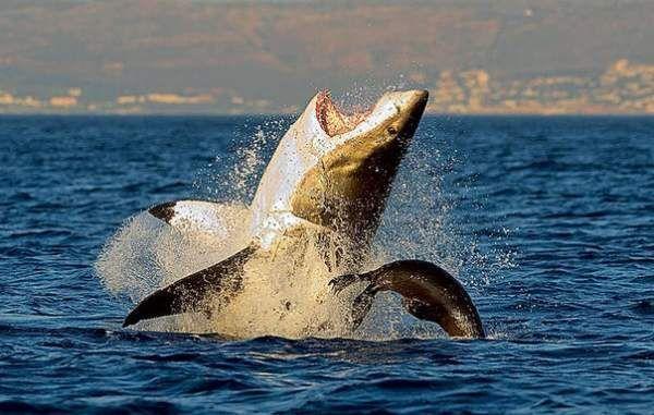 Чому велика біла акула чорного кольору?