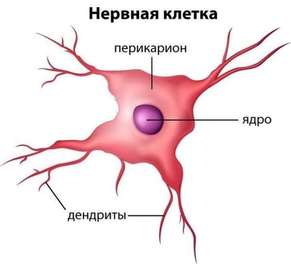 Чому невосстанавліваемость нервових клітин - міф?