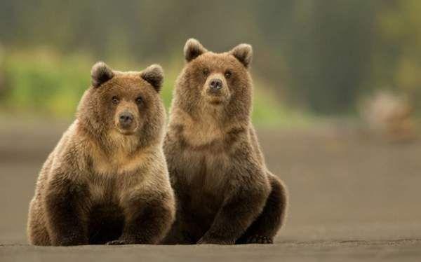Пухкі бурі ведмедики відпочивають після полювання на лосося