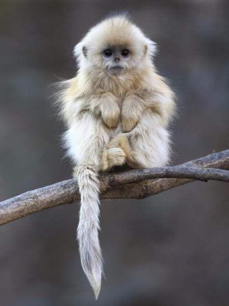 Золотиста кирпоноса мавпа - вид китайських мавп