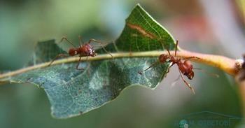 Теплиця атакована мурахами, що робити?