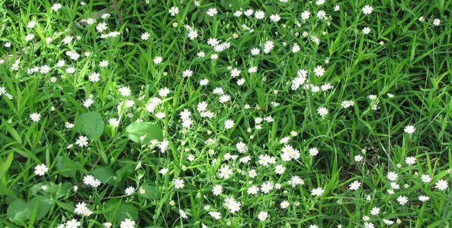 Трава мокриця: користь і шкода