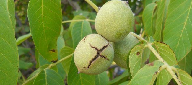 Варення із зелених волоських горіхів: користь і шкода
