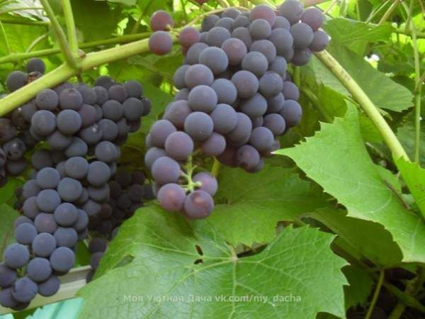 Виноград - секрети догляду!