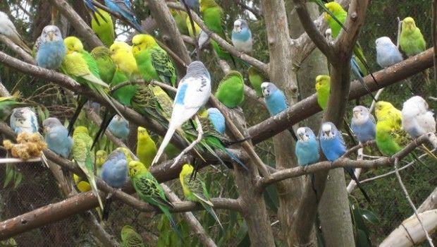 Хвилясті папуги та догляд за ними