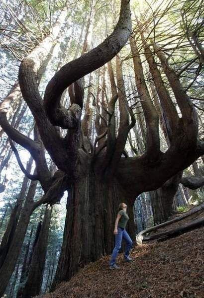 Чарівний ліс, каліфорнія